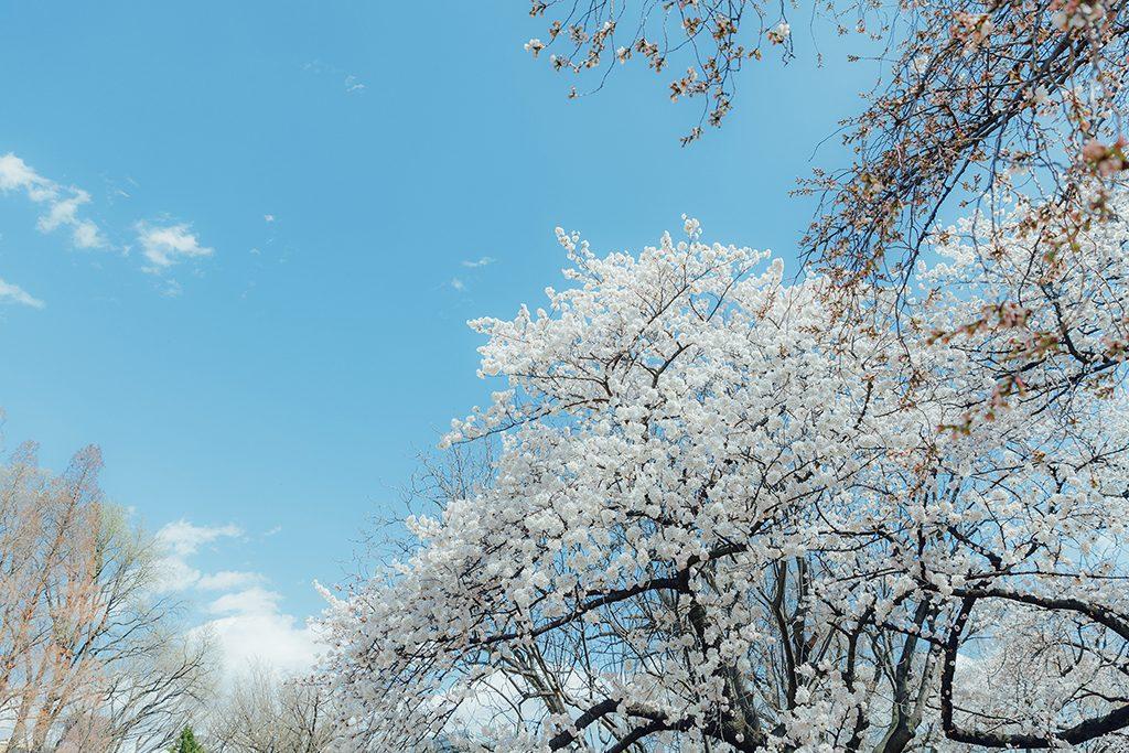 IMG 8904 2 1024x683 - 【海外寫真】桜の时 2018